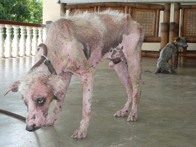 Sarcoptic Mange dog photo